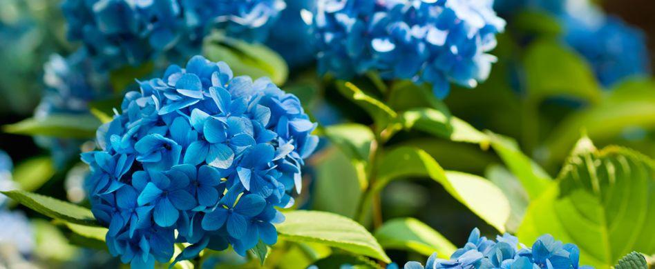 Hortensien blau färben: Mit diesen 10 Tipps kein Problem
