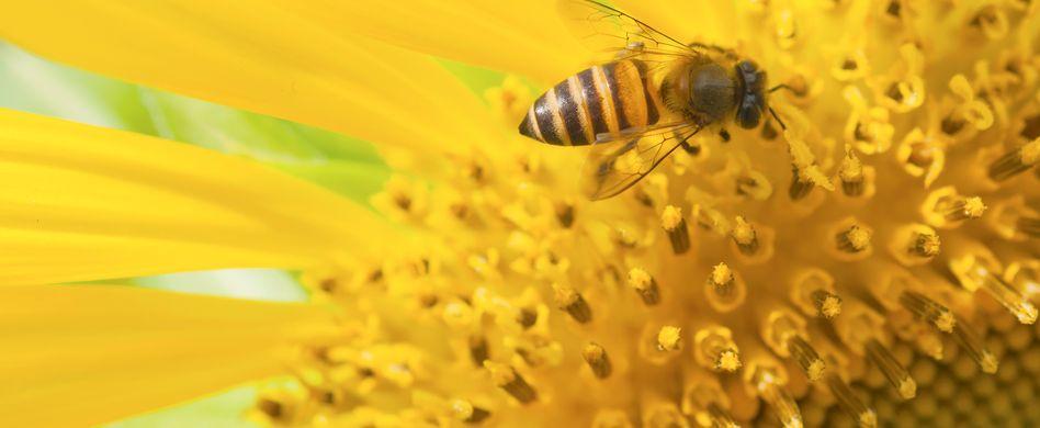Bienenfreundliche Pflanzen: Mit diesen 5 Blumenideen helfen Sie den Nutztieren