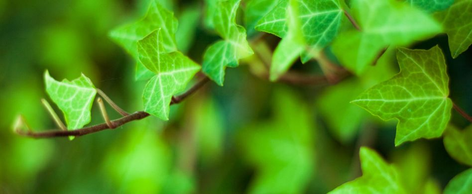 Ist Efeu giftig? Die Kletterpflanze im Risiko-Check