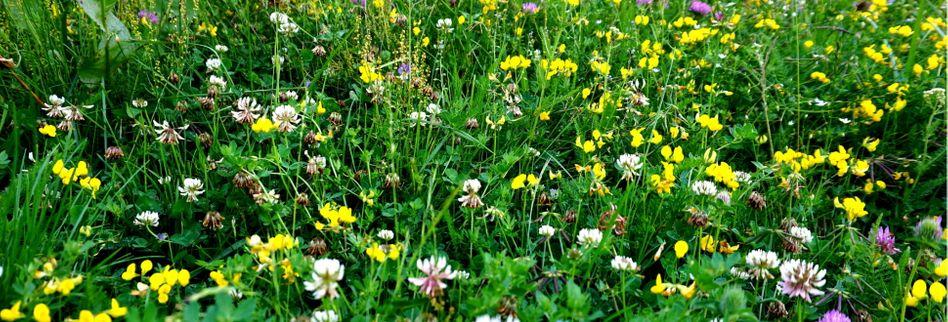 Wildblumenwiese anlegen: 5 Tipps für das perfekte Naturparadies