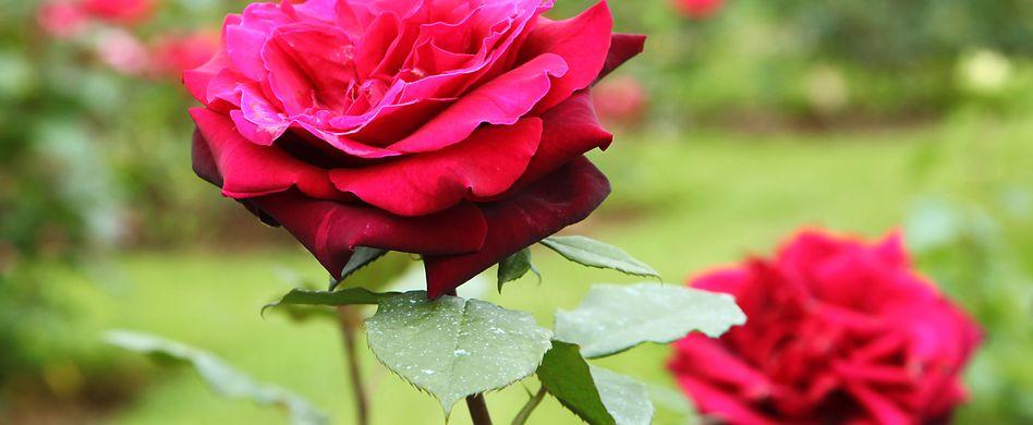 Die schönsten Rosensorten für den heimischen Garten