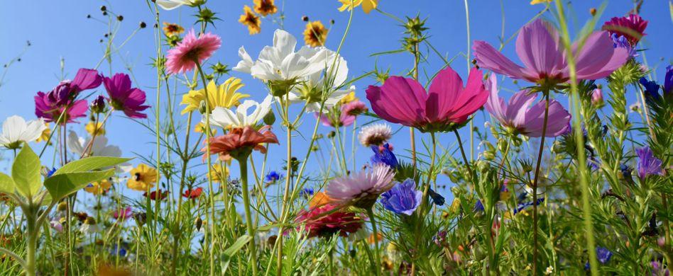 Welche Blumen blühen im Juni?