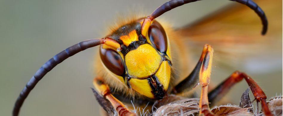 Wespen vertreiben: 4 Hausmittel gegen die Störenfriede