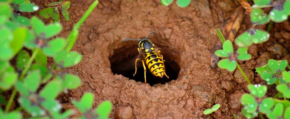 Erdwespen loswerden: So vertreiben Sie die ungewollten Insekten