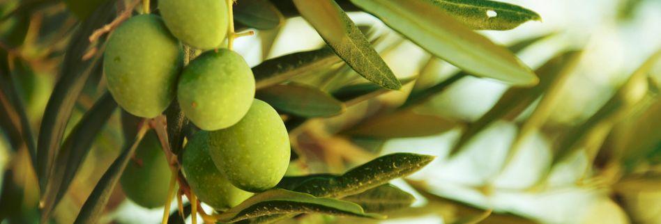 Olivenbaum auf dem Balkon: 5 Pflegetipps für das Bäumchen im Topf