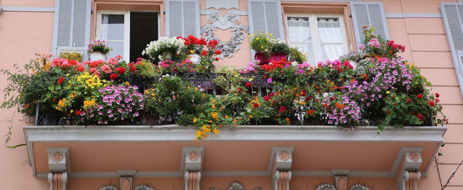 Kletterpflanzen für den Balkon: 10 grüne & blühende Exemplare