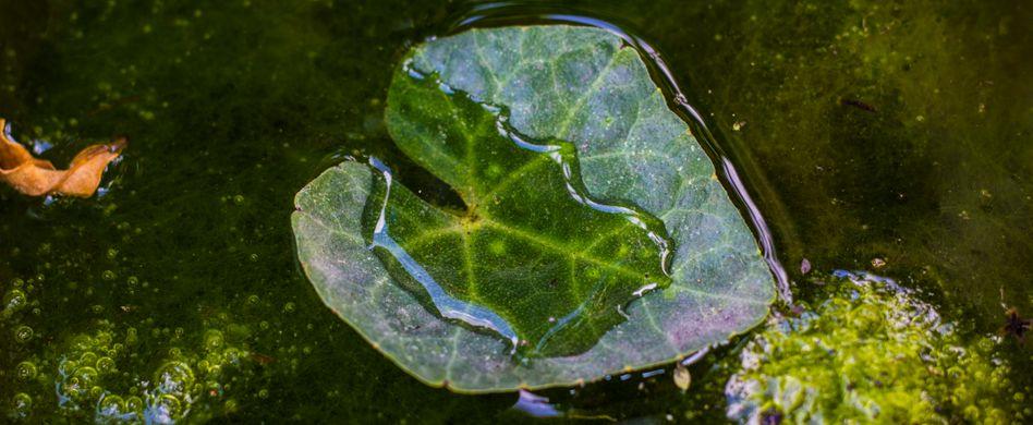 Algen im Teich: So wird Ihr Gartenteich wieder kristallklar