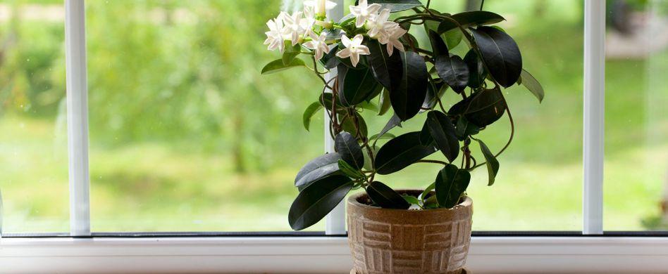 Jasmin als Zimmerpflanze: Pflege der schönen Blume