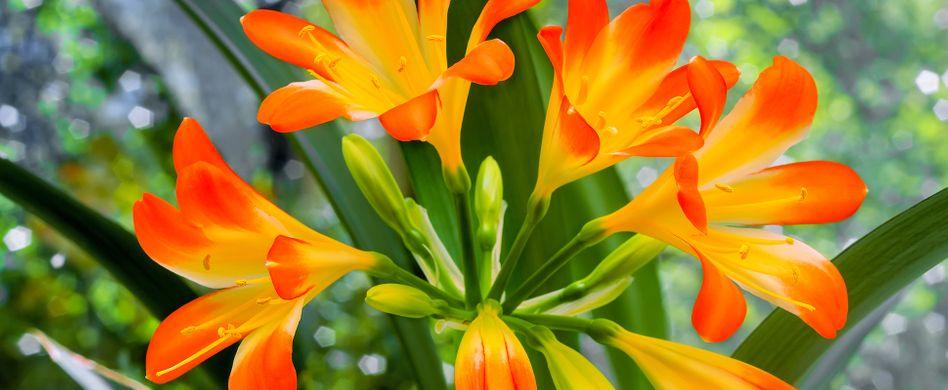 Belladonnalilie: Pflege der Echten Amaryllis