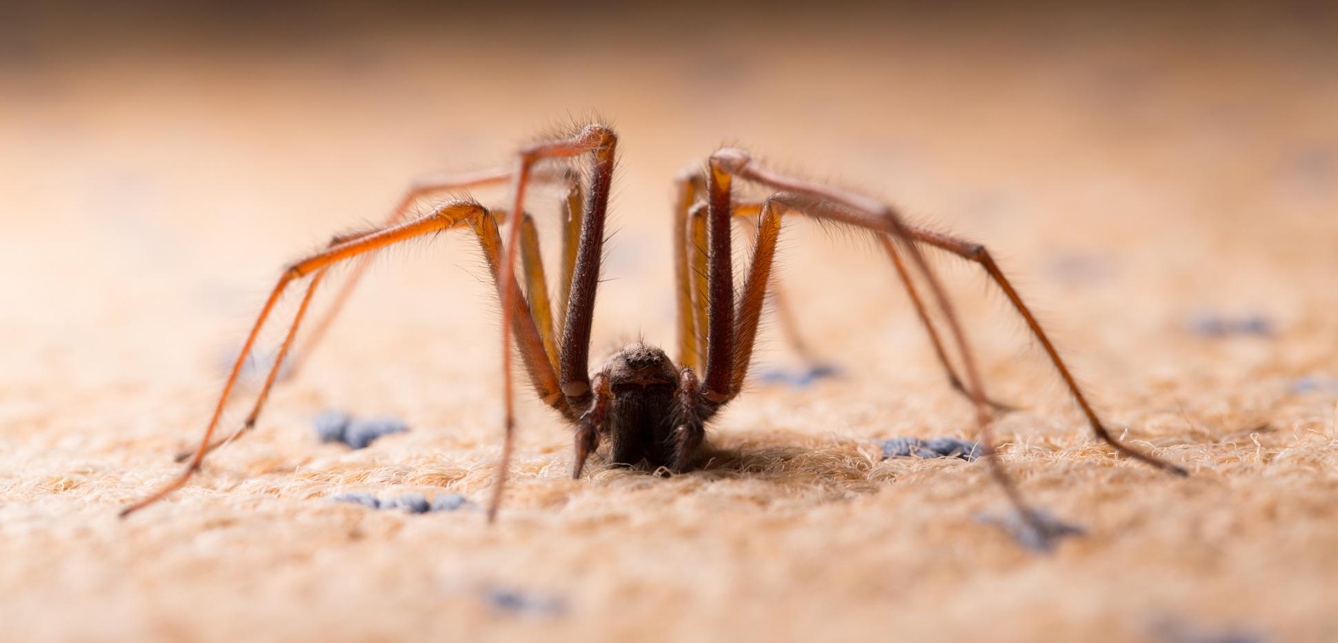 Spinnen gift gegen Spinnen Mittel